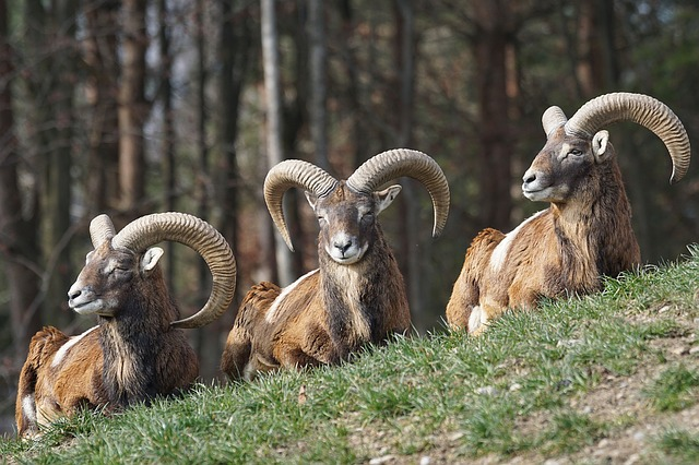 Drei Widder im Naturpark